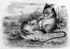 Doré illustration for The Frog and the Rat