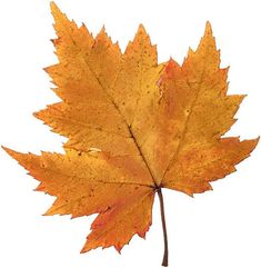 Pictures of. leaves | ... lesson plan plants leaves images 1 plants lesson plan maple leaves
