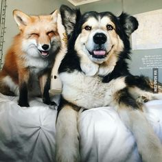 Juniper the fox and Moose the dog - 9GAG
