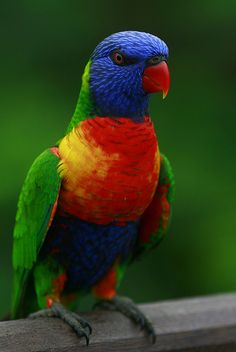 Colorful birds - Rainbow Lorikeet (trichoglossus haematodus). From Cape York (Qld) to Adelaide (Sth. Australia).