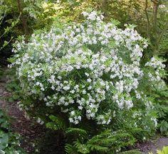 Choisya x dewitteana 'Aztec Pearl' 1 flower, form