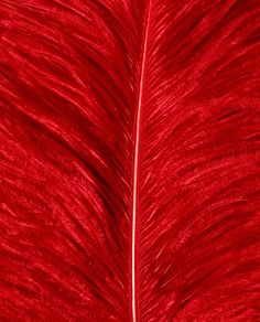 l red l Arte Plumaria, Red Pictures, Red Feather, Feather Texture, Red Wallpaper, Simply Red, Aesthetic Colors, Red Walls, Cherry Red