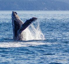 Whale watching in Vancouver, Canada