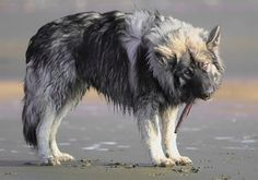 """The Dire Wolf Project is a breeding program by the American Alsatian Breeder's Club that started in 1988 with the goal of """"bringing back the look of the large prehistoric Dire Wolf in a domesticated dog breed"""". This faux dire wolf is actually a companion dog breed known as an American Alsatian, achieved through generations of crossing Alaskan Malamutes, German Shepherds, English Mastiffs, andGreat Pyrenees."""