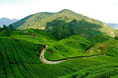 Cameron Highlands, Malaysia - Tea is quite beautiful!