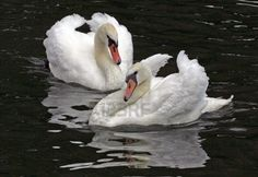 Male Mute Swans squaring up