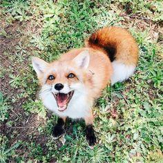 Juniper the Red Fox by juniperfoxx on Instagram More