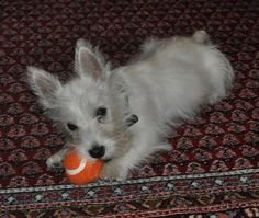 I have a picture just like this of my favorite westie...Bertie