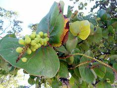Raisins. Guadeloupe.