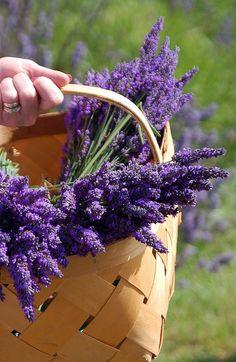 Sweet Lavender - ahhhhh. In your tea, in your bath, in vanilla ice cream - ahhhhh delicious