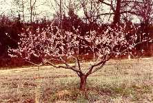 Peach tree pruning and care from Alabama extension for growing peaches in the humid south Pruning Peach Trees, Tree Pruning, Outdoor Projects, Garden Projects, Garden Ideas, Peach Tree Care, Tree Diagram, Outside Living, Dream Garden