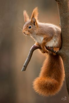 beautiful-wildlife: Little Squirrel by Marc Tornambé