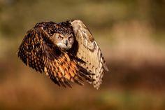 Flight of an Eagle owl