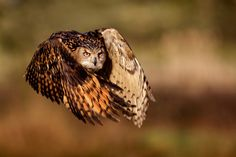 owl flying...cool pic!