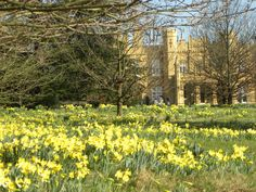 Wild Daffodils at Wall Hall in Hertfordshire, just up the road. Joseph Kennedy lived here when he was American Ambassador.
