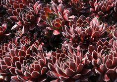 Pruhonice Sempervivum at Young's Nursery Planting Succulents, Cacti, Nursery, Garden, Plants, Color, Cactus Plants, Garten, Room Baby