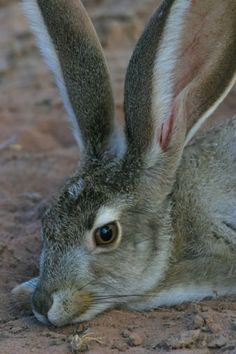 BLACK TAILED JACKRABBIT....aka the American desert hare....found in the desert scrubland, prairies, farmland and dunes in western United States and Mexico....measures 18.5 - 24.8 inches long and weighs 2.9 - 6.8 pounds....capable of reaching 40 mph
