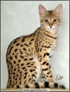 Savannah cat…Lady Ruffian. I would love one of these but the rest of the animals would not be safe.