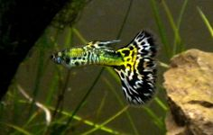 Poecilia reticulata Fancy Guppy Information and wiki Fancy Tail Guppy for sale and where to buy - AquaticMag (7)