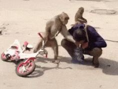 Grand Theft Auto: Monkey Edition | Animals | Know Your Meme