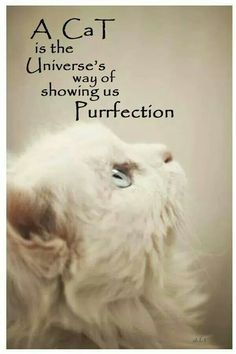 A cat is the universe's way of showing us Purrfection Animal Lover Quotes, Cat Quotes, Lovers Quotes, Crazy Cat Lady, Crazy Cats, I Love Cats, Cool Cats, Verona, Cute Cats Photos