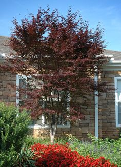 Great tree for zones 6-8. Hefner's Red, Japanese Maple (from All Things Acer, website) Thanks!