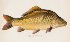 Beach House Decor Vintage Fish Print Fish Wall Art by plaindealing