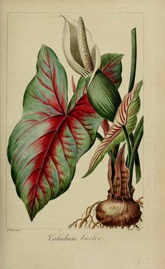 191761 Caladium bicolor (Aiton) Vent.Herbier général de l'amateur, vol. 7: t. 492 (1817-1827) [P. Bessa]