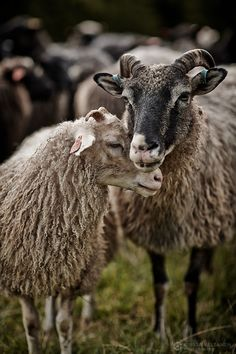 CLIENT WORK – Tiirinkosken lammastila
