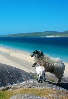 Sheep, Luskentyre, Isle of Harris, Scotland My next trip to Ireland, I want to also go to Scotland :)