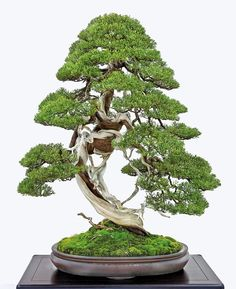 This Sargent juniper was collected from a high rocky area and was not grafted. It has been displayed in a Kokufu Bonsai Exhibition before World War II as well as the 2011 85th Kokufu Bonsai Exhibition. It is well matched with the antique Chinese container.