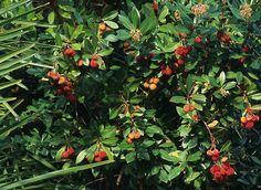 Compact Strawberry Tree -- ARBUTUS UNEDO 'COMPACTA'