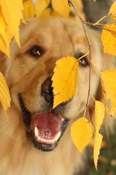Golden Retriever Puppy playing amongst the Leaves Beautiful Creatures, Animals Beautiful, Cute Animals, Animals Dog, Cute Puppies, Cute Dogs, Dogs And Puppies, Doggies, All Dogs