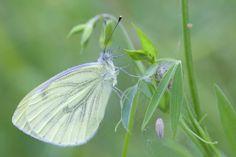 Rapsweissling (Pieris napi) ist ein Schmetterling (Tagfalter) aus der Familie der Weisslinge (Pieridae).  Green-veined White