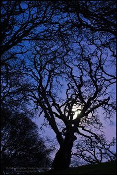 Witches Forest; Oak tree & moon in evening light by enlightphoto, via Flickr