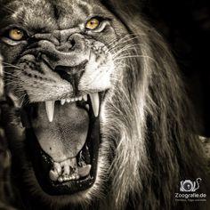Zoo Hannover - Roaaar - Lion, Löwe mit mieser Laune