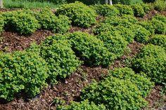 Den norske drømmehagen (?) Herbs, Plants, Herb, Plant, Planets, Medicinal Plants