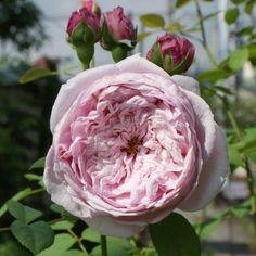 Spirit Of Freedom Rose   Rosier 'Spirit of Freedom'