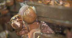 W hodowli pod Pasłękiem zaczął się już proces wybudzania ślimaków afrykańskich.