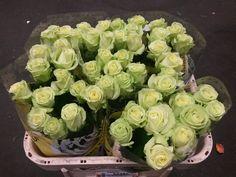 #Rose #Rose #GreenGene; Available at www.barendsen.nl