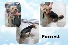 Check out Forrest ~ Beautiful Scruffy's profile on AllPaws.com and help him get adopted! Forrest ~ Beautiful Scruffy is an adorable Dog that needs a new home. https://www.allpaws.com/adopt-a-dog/yorkshire-terrier-yorkie-mix-shetland-sheepdog-sheltie/6022429?social_ref=pinterest