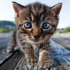 Blue-eyed cutie...Here...Kitty Kitty