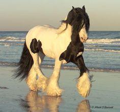 Gypsy Vanner stallion-The Gypsy King