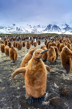 King Penguin - Salisbury Plain. South Georgia Island | by: (Jon Cornforth) ""