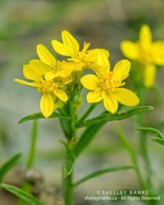 Prairie Wildflowers: Broomweed — grass-high, golden Prairie wildflower