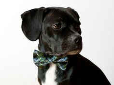 Every dog needs a bow tie!