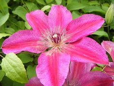 Buy clematis (group 2) Clematis 'Ruby Wedding': Delivery by Crocus
