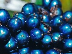 Specialized structures in the cells [and not a pigment] gives the brightly colored-fruits of Pollia condensata [found across Africa; Family: Commelinaceae] it's metallic-blue iridescent hue. The fruit is more intensely coloured than any previously known biological substance - Nature News & Comment