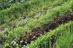 Smíšené kultury patří mezi preventivní metody, specializovcané škůdce méně lákají Plantation, Marie, Planters, Vegetable Gardening, Lawn And Garden, Bricolage, Planter Boxes, Plant, Flower Pots