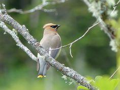 http://faaxaal.forumactif.com/t1830-photos-d-oiseaux-jaseur-d-amerique-jaseur-des-cedres-bombycilla-cedrorum-cedar-waxwing